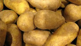 sieglinde kartoffel bio